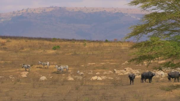 Africké buvoly a zebry v Masai Mara