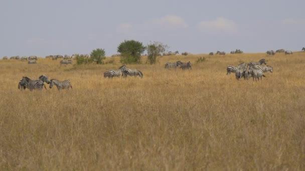 Zebry v africké savaně