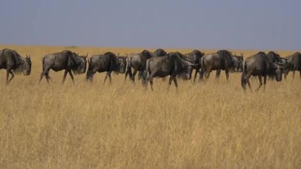 Gnus kráčí v Masai Mara