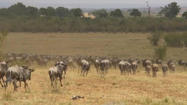 Vadállatok és zebrák futása