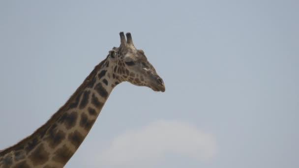 Zavřít záběr na žirafu