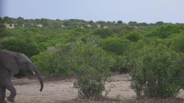 Slon kráčí mezi keři