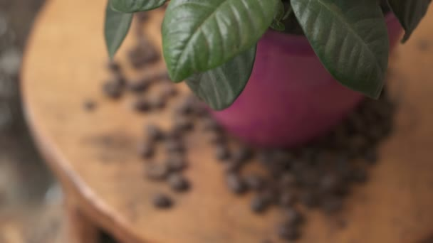Rack focus of a coffee plant and coffee beans