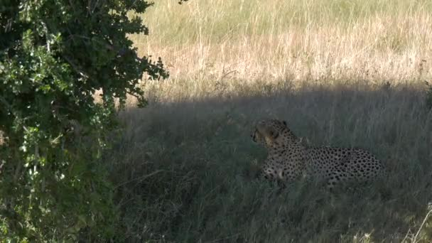 Gepard odpočívající u zelených větví