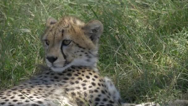Zavřít pohled na gepardí mládě odpočívající