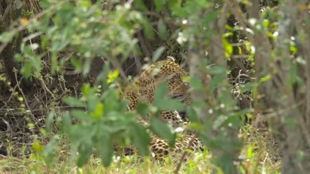 Leopard seen through leaves
