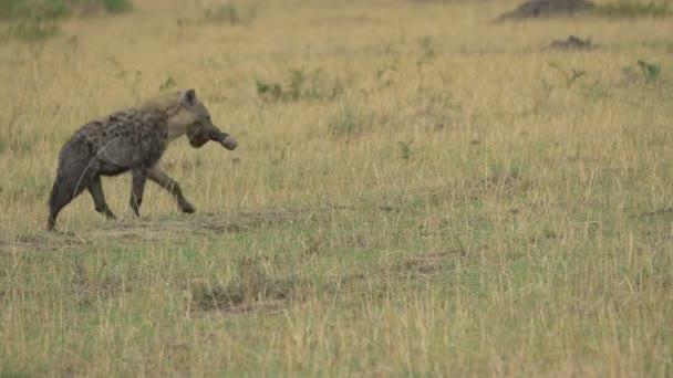 Spatřena hyena nesoucí nohu zebry