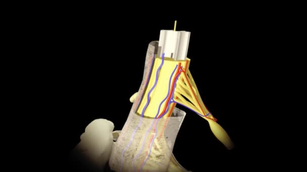 Animation of human anatomy