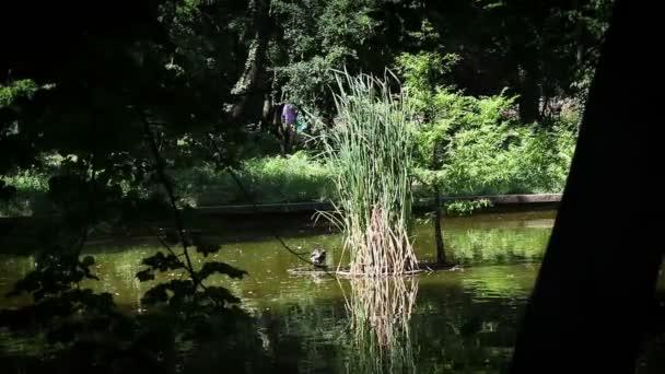 kachna plavání na jezeře