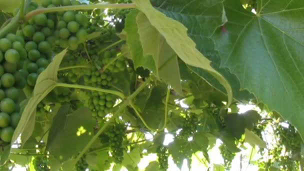 Vine leaves and grapes