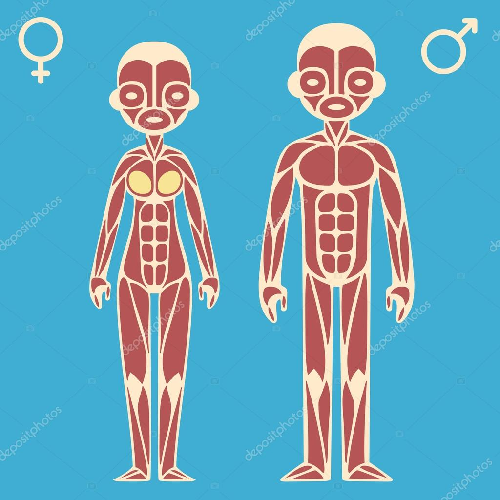 Male And Female Muscle Chart Stock Vector Sudowoodo 75157933