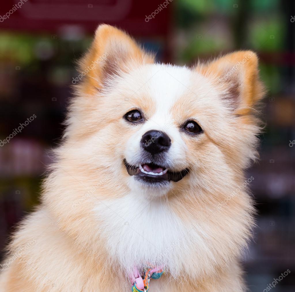 Commandes de chien brun avec impatience — Photographie