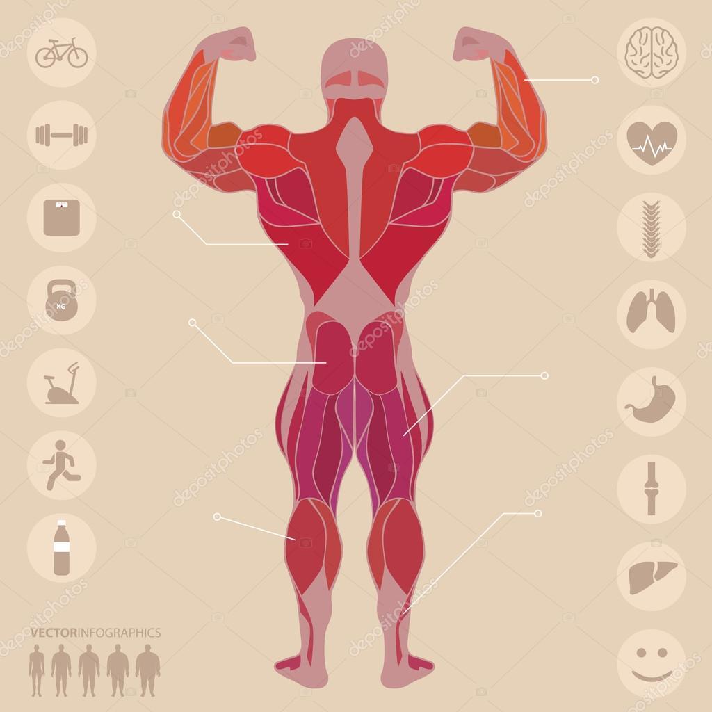 Humanos, Anatomía, músculos, espalda, deportes, fitness, medicina ...