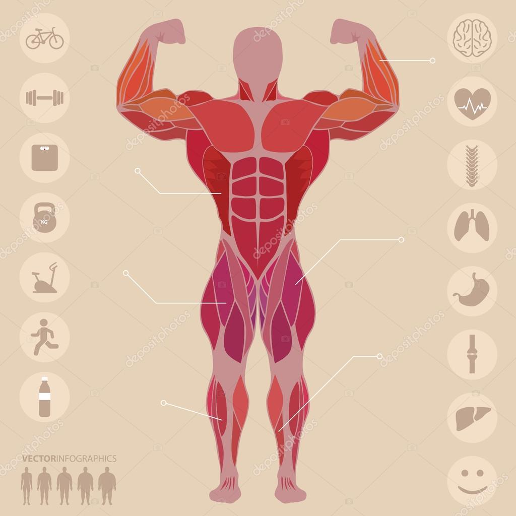 Mensch, Anatomie, vorderen Muskeln, Sport, Medizin, Vektor ...