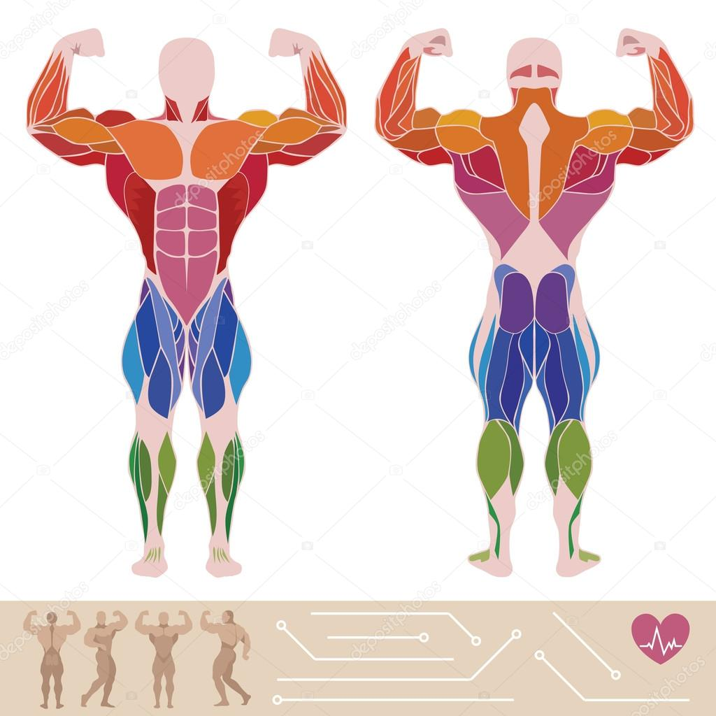 The Human Muscular System Anatomy Posterior And Anterior View