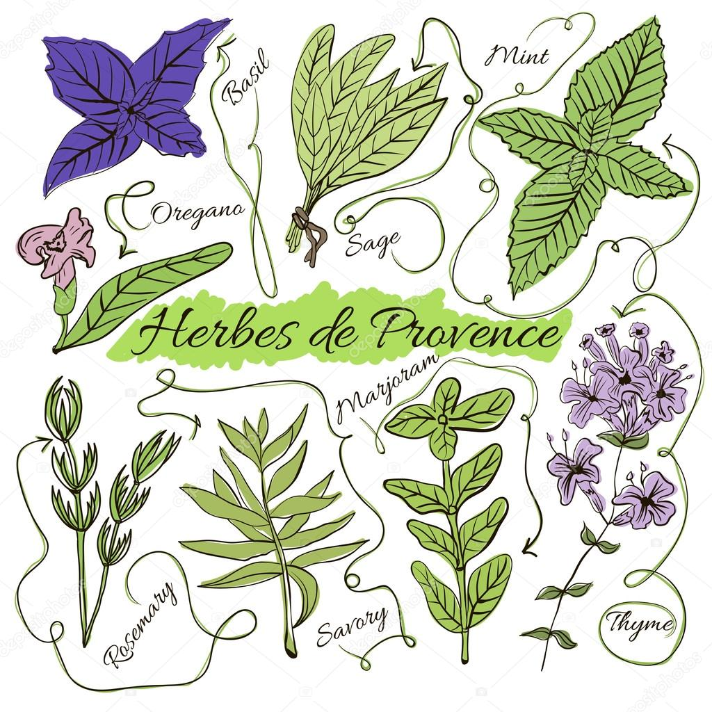 A large set of isolated colorful spices and herbs from French Provence for design on white background. Herbes de Provence.  illustration
