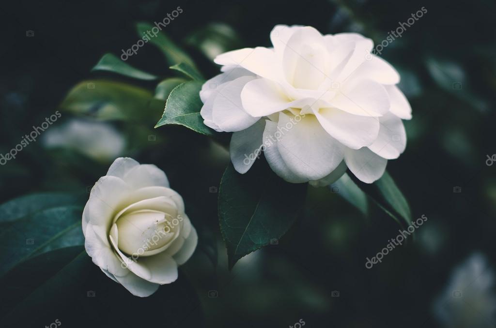 Fiori Bianchi Simili A Rose.White Rose Flowers Of Rosehips Bush Stock Photo C Margarita