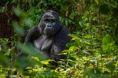 A silverback mountain gorilla sits in the dense foliage of his natural habitat in Bwindi Impenetrable Forest in Uganda.