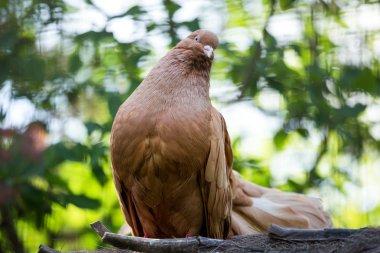 purebred dove brown pigeon