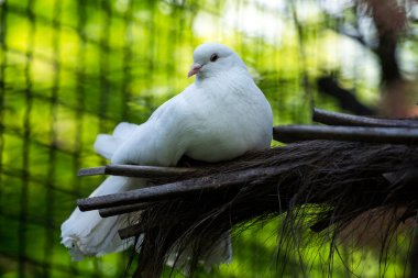 purebred dove white pigeon