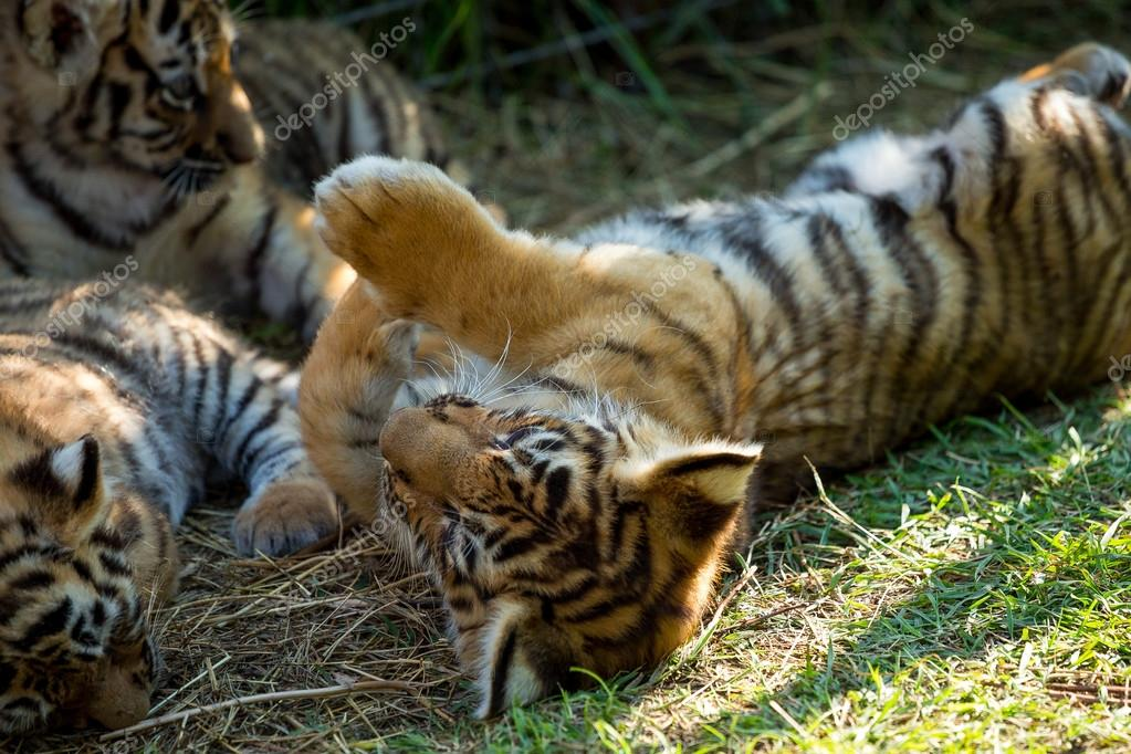 tiger cubs playing