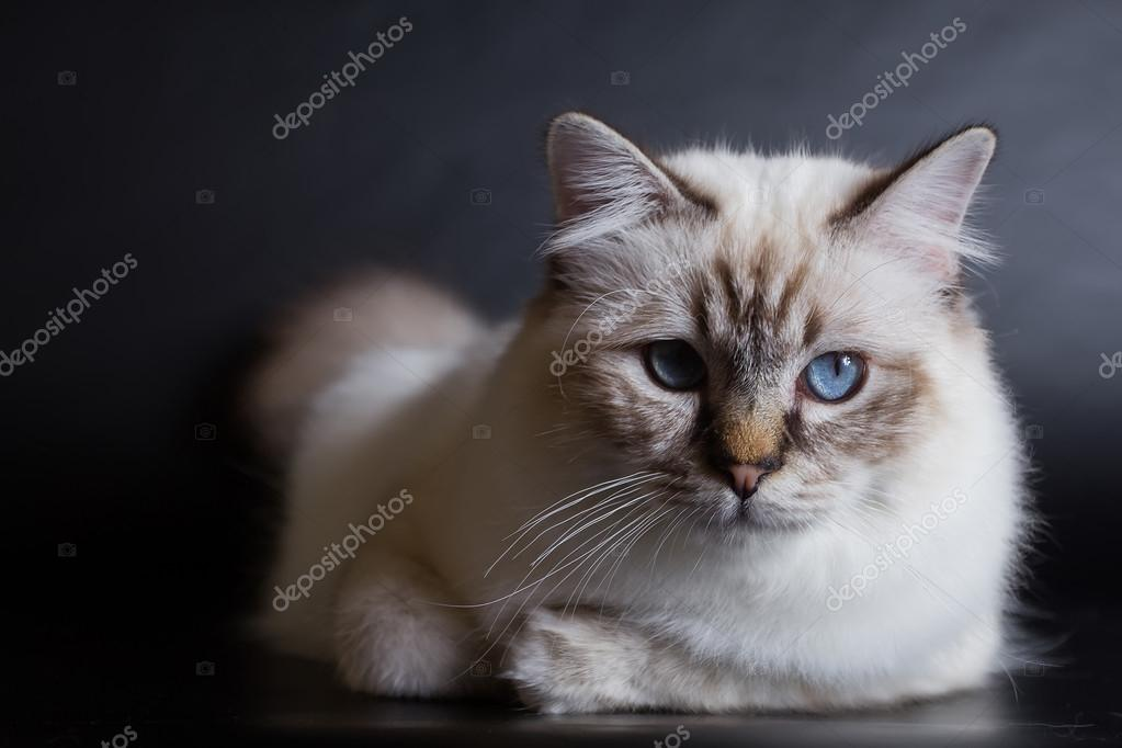 Tibetan Cat with blue eyes — Stock Photo © VadimBorkin #74533247