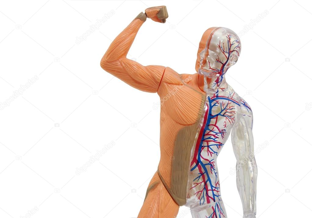 Isolierte menschliche Anatomie Modell — Stockfoto © syberianmoon ...