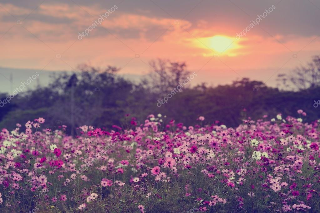Фотообои Cosmos flowers in purple, white, pink and red, is beautiful suns