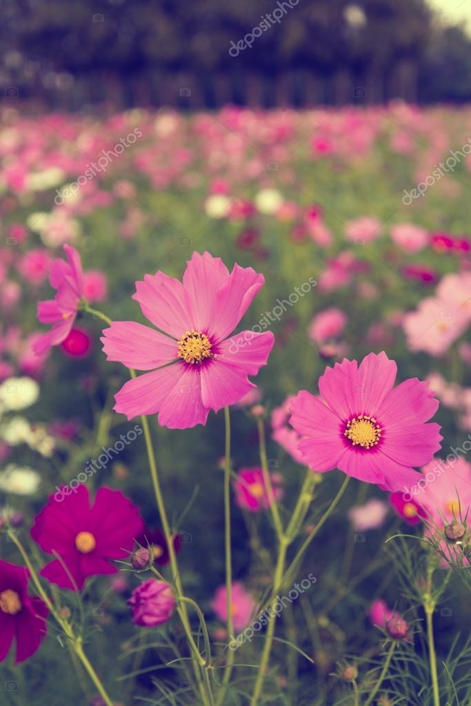 Kosmos-Blumen in Lila, weiß, Rosa und rot, ist schön Sonnen ...