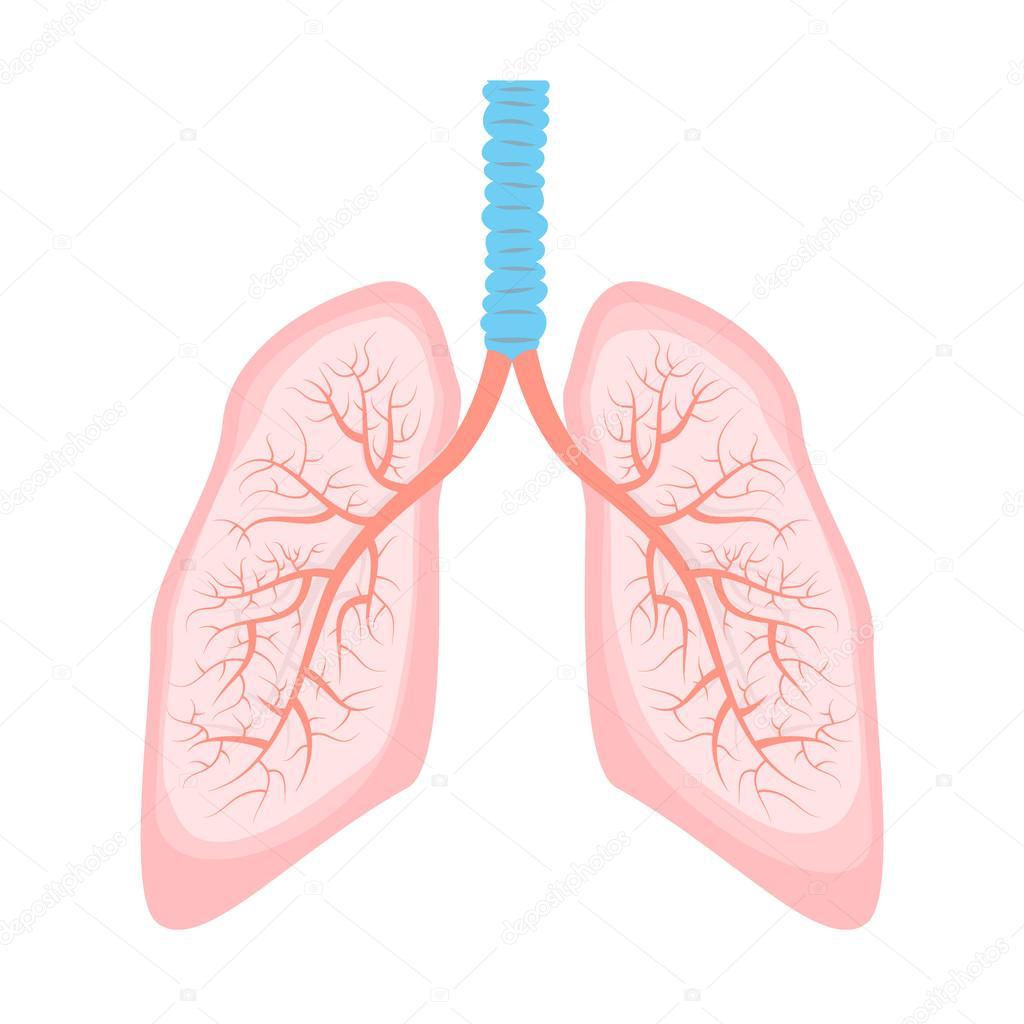 Abbildung der menschlichen Lunge — Stockvektor © art-l@i.ua #93658688