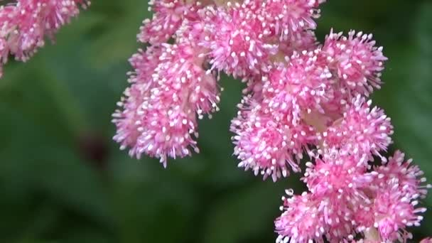 Astilbe pink.  pink,Bright juicy colors build up the desire to connect with nature. Green background soothes the soul. Flowering plant makes the picture alive, the mood of sadness and quiet.Flower with dew. Summer morning.