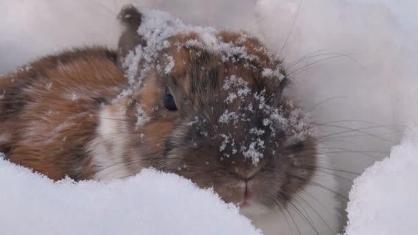 Kaninchen-Moves Nase und gräbt sich in den Schnee