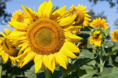 sunflowers growing in a field close up