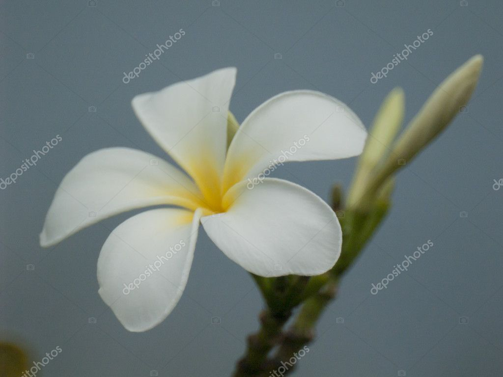 white and yellow plumeria frangipani flowers