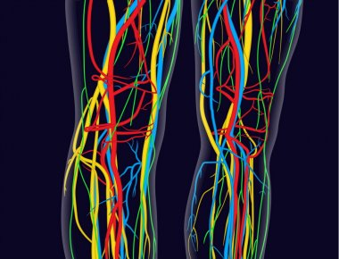 Medically accurate vector illustration of knees and legs, includes nervous system, veins, arteries, heart, etc.