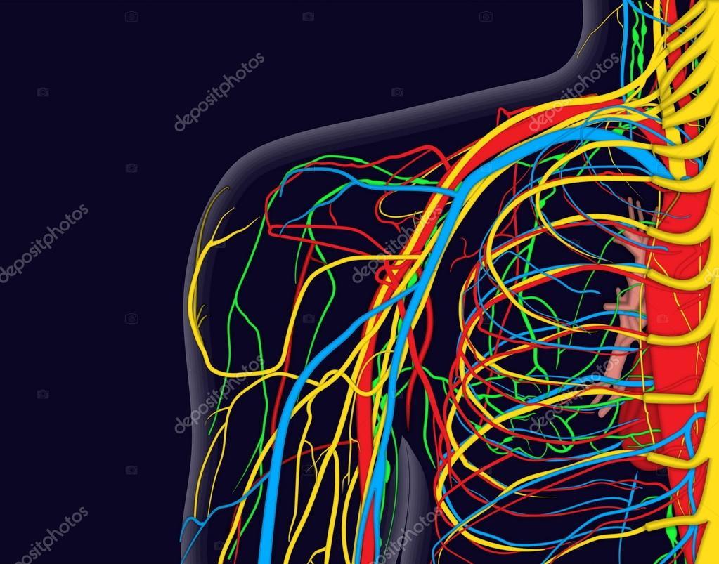 Ilustración de vector médico de la anatomía del hombro con nervios ...