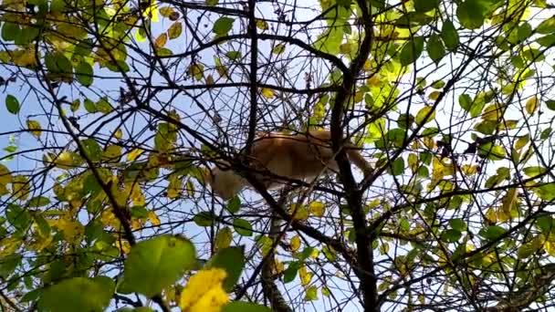Egy macska a fán madarakra vadászik. Vörös aranyos cica mászott fel egy fa ágaira. Macskavadász egy őszi napon a kék ég ellen