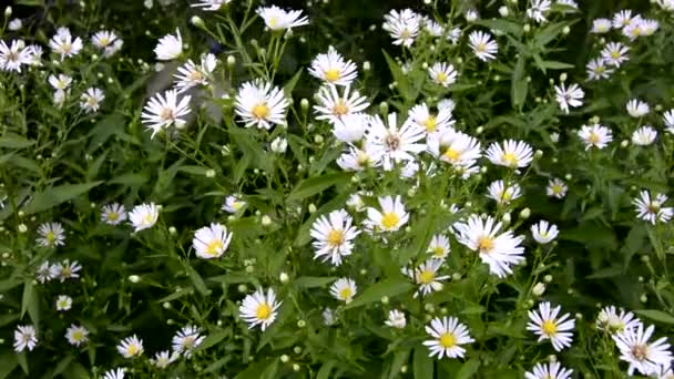 Beautiful small chrysanthemums swing in the wind. A Daisy Bush grows in a meadow.