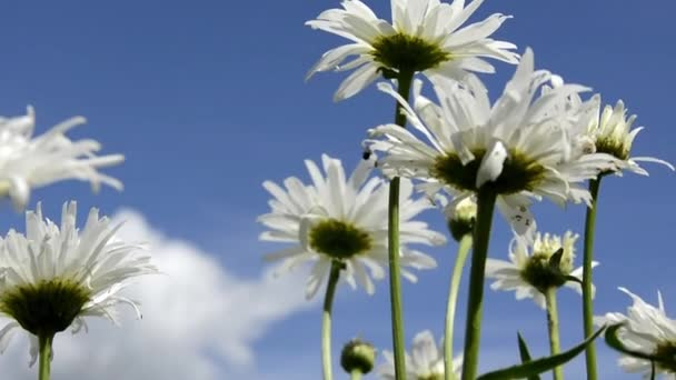 Field daisies swaying in the wind, bottom view. A Bush of daisies on a background of blue sky and white clouds. Wild herbs and flowers