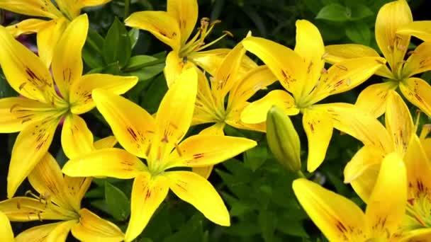Lily közelkép. Eső után cseppekkel a lombozaton. Gyönyörű festői bővelkedik virágzó sárga nappali cserje kerti dekoráció