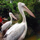Pelikán ptáci v zoo