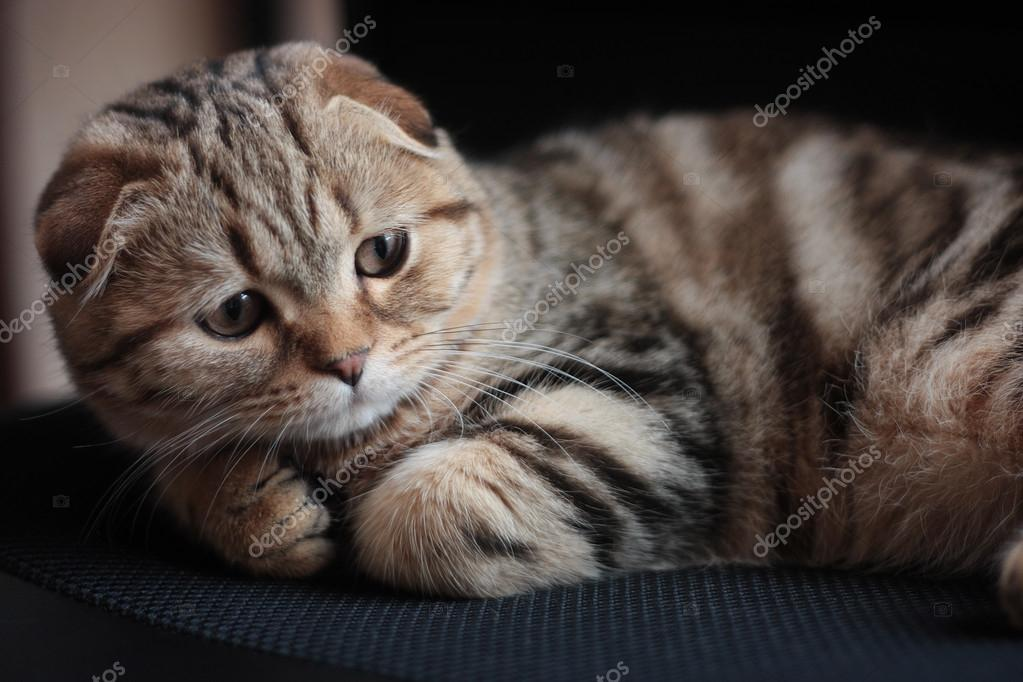 шотландская мраморная кошка фото
