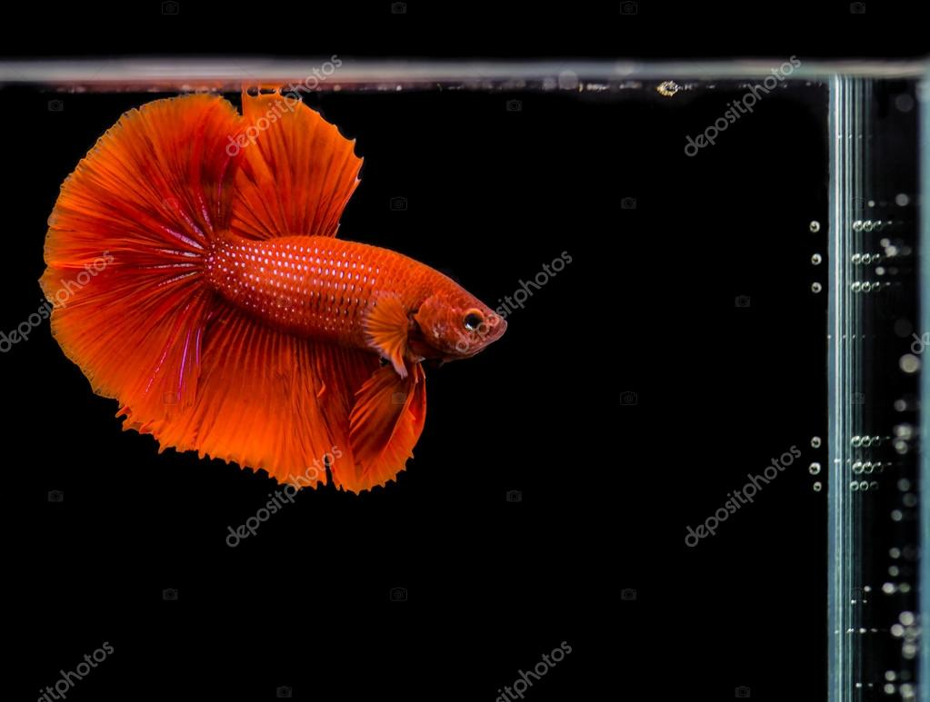 Siamese fighting fish, Betta splendens red color — Stock Photo ...