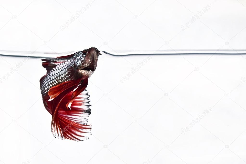 Siamese fighting fish Betta Fish