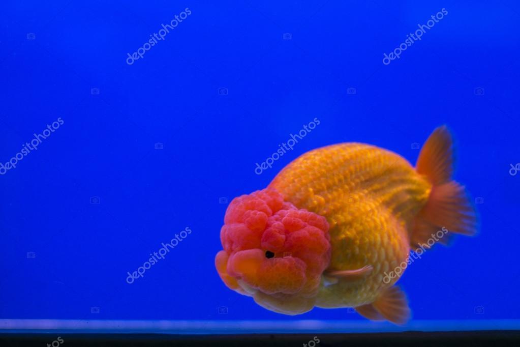 Goldfish oranda ,blue background — Stock Photo © nawaj #87787876
