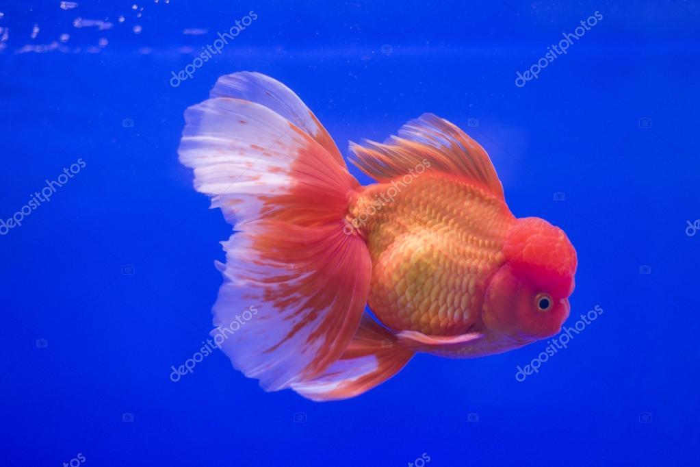 Pesce rosso oranda nel serbatoio foto stock nawaj for Pesce oranda
