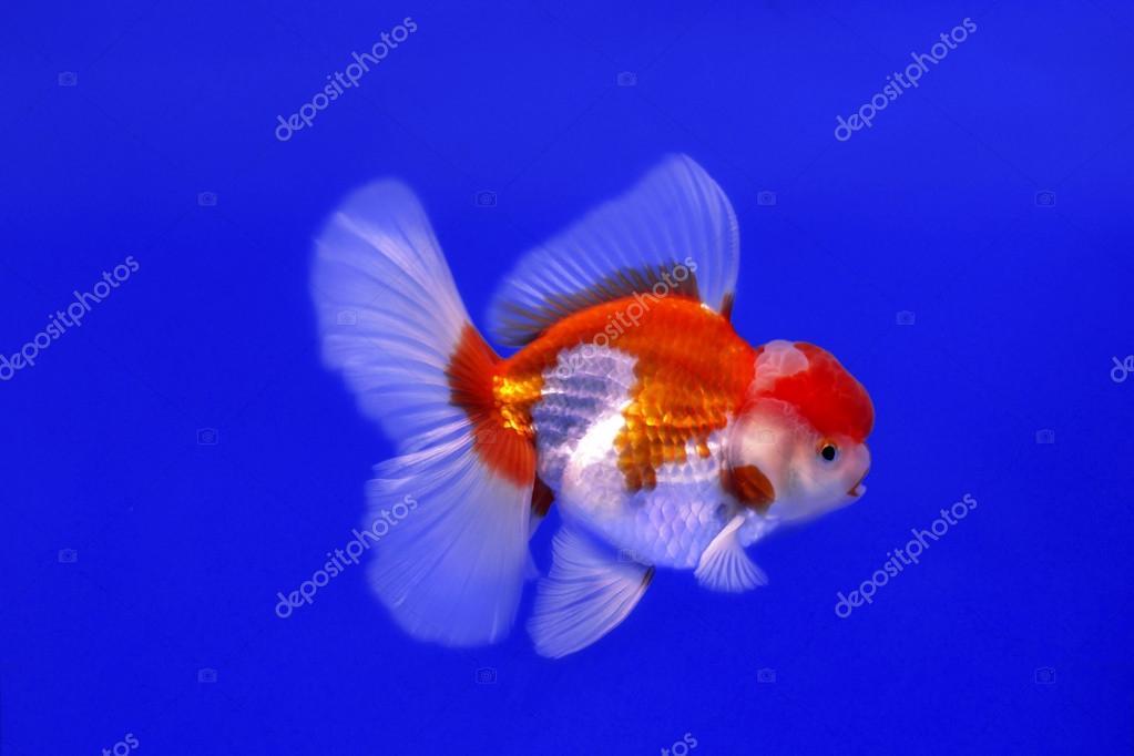 Pesce d 39 oro oranda foto stock nawaj 87789090 for Pesce oranda
