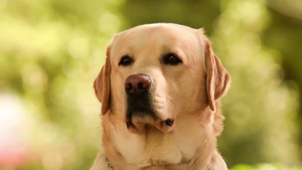 Close up portrait of a Labrador dog.