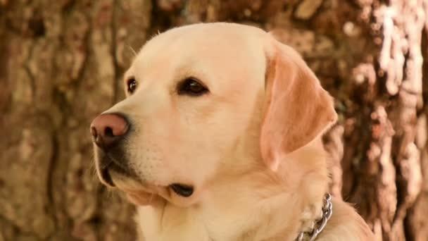 Close up Labrador dog portrait.