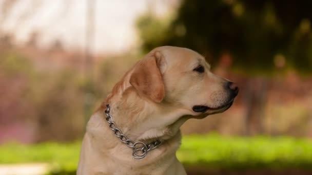Labrador dog portrait against a beautiful background at a park.
